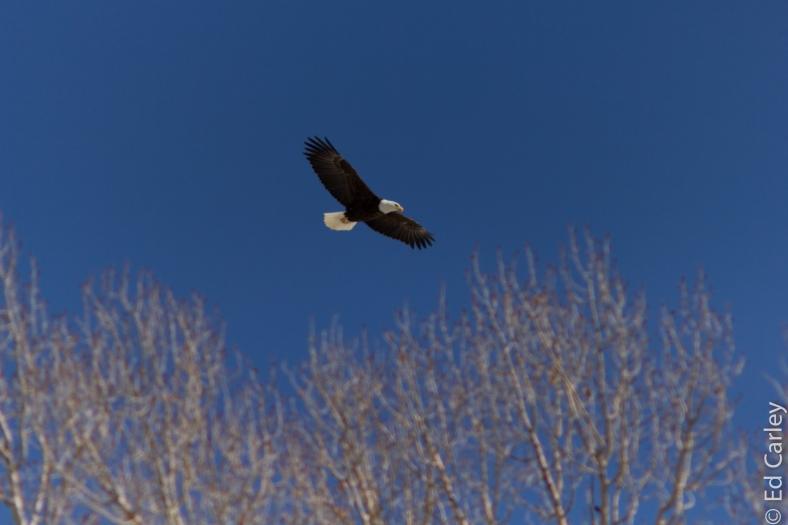 Blad Eagle, Colorado