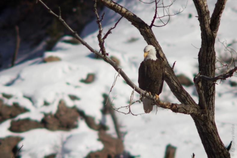 Bald Eagle, Almont Colorado