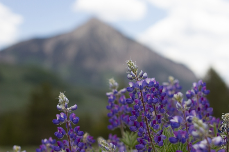 Crested Butte Wildflowers, Ed Carley Photography, Lupine, Crested Butte Colorado